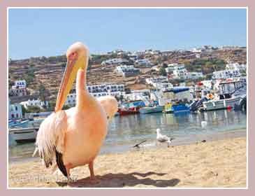 пеликаны в Миконосе