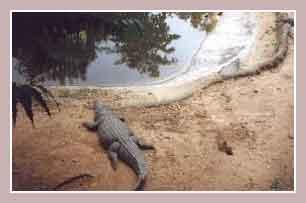 египетский крокодил
