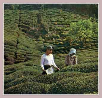 планитации чая в Турции