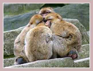 обезьяна магот